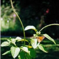 Porterweed & Butterfly.jpg