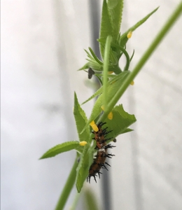 Gulf Fritillary eggs and caterpillar